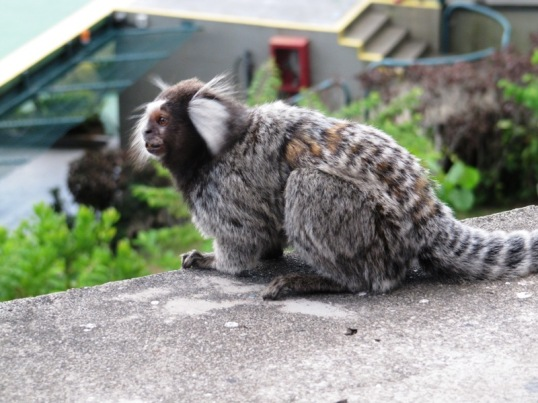 Marmoset at Morro da Urca