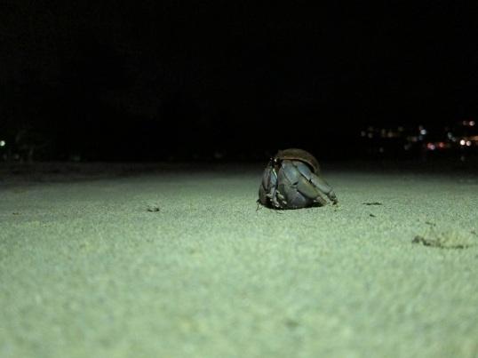 Hermit crab (photo credit: Nalat)