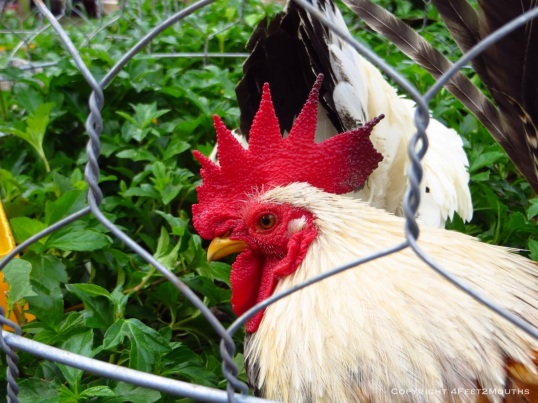 Caged rooster