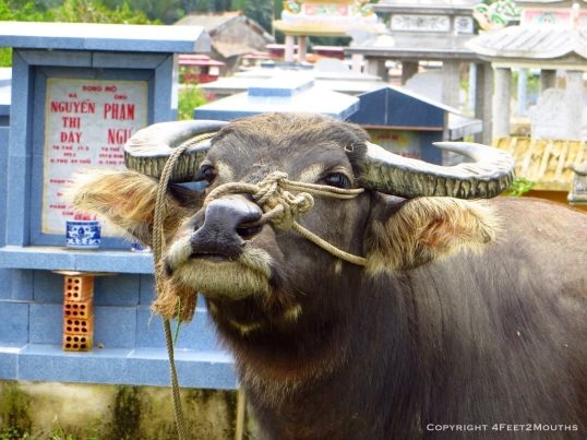 A curious water buffalo
