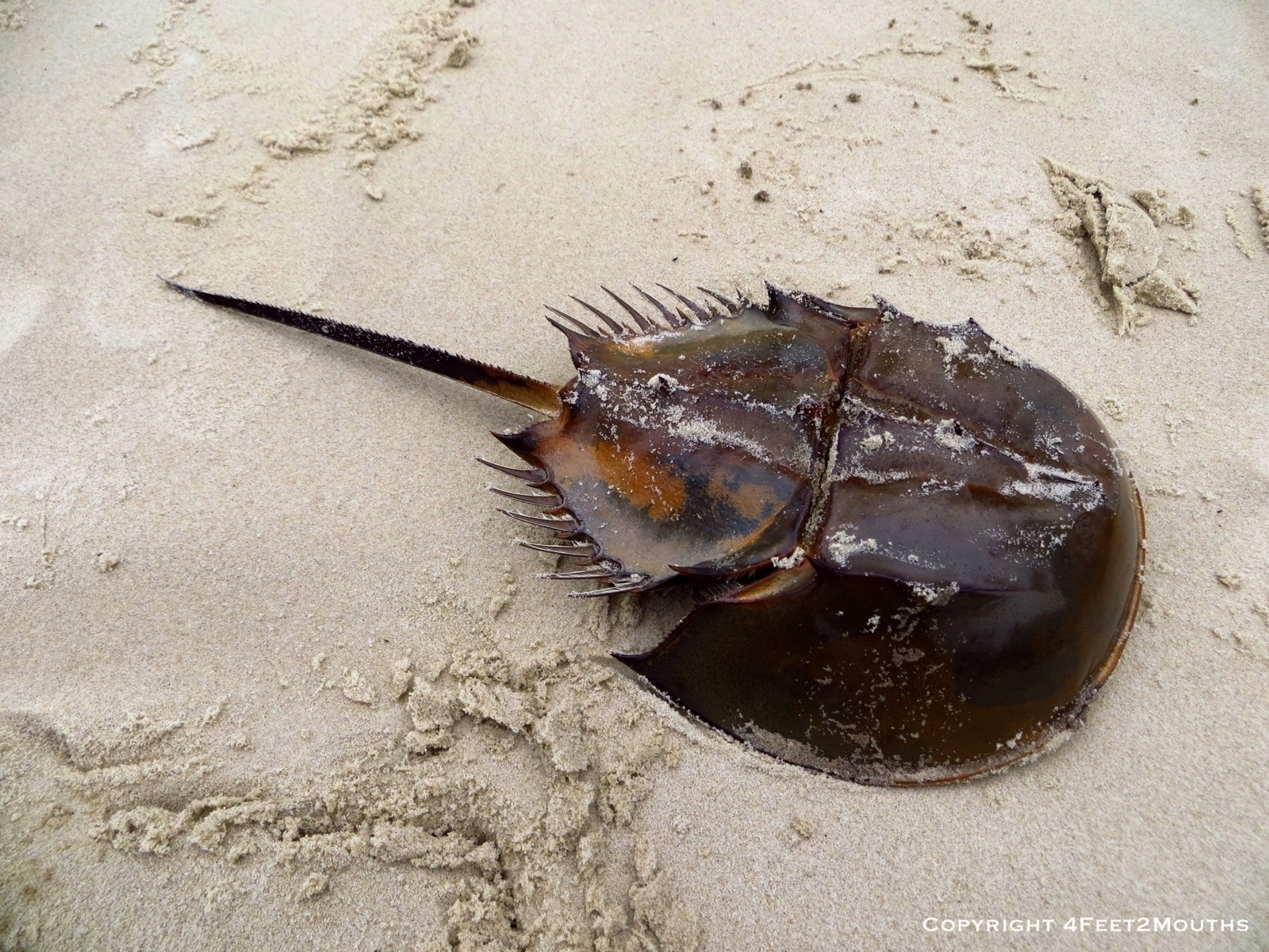 Horseshoe crab and Crabs on Pinterest