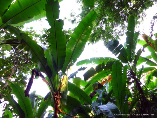 Dense banana leaves provided constant shade