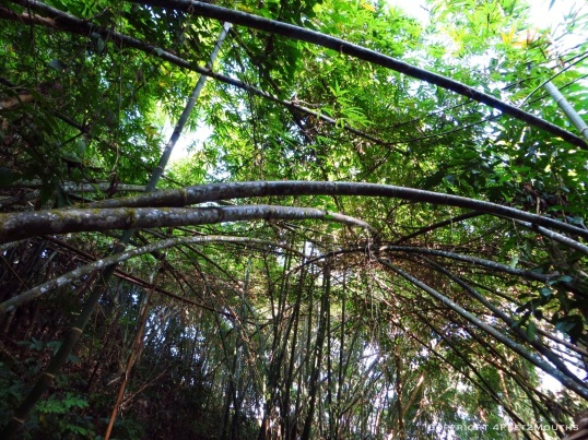 Interwoven bamboo forests