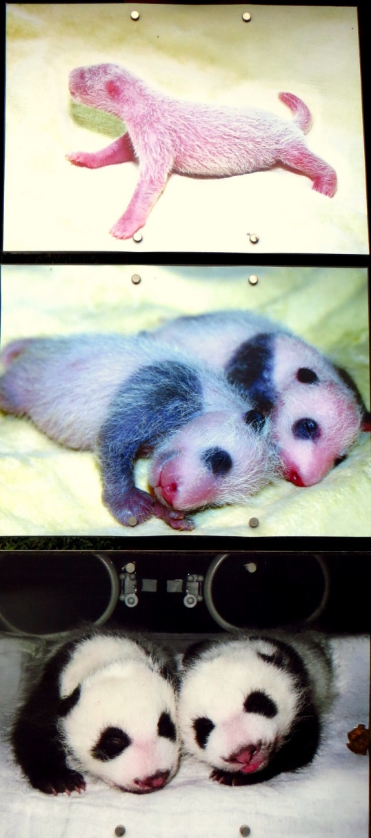 Progression of baby panda growth