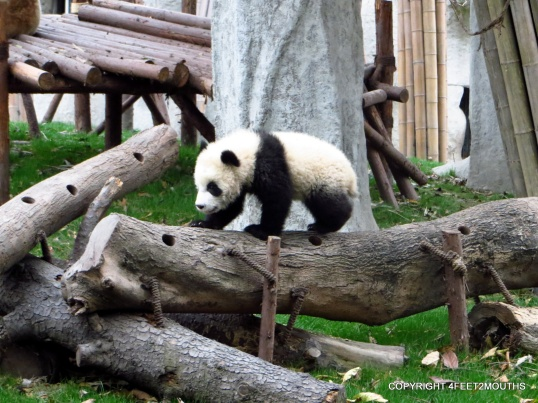 Baby panda at about 5 months old
