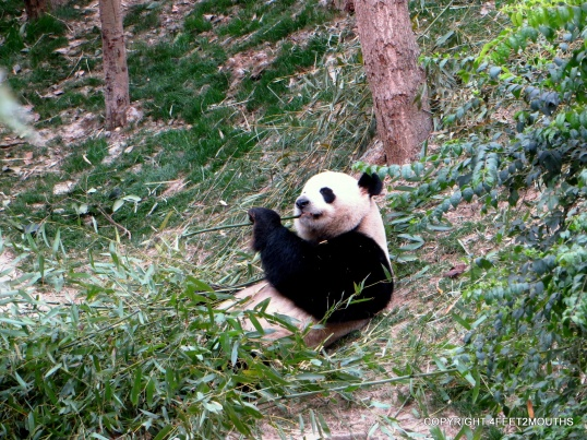 Panda doing what it does best