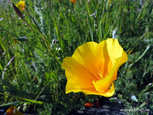 A blooming California poppy