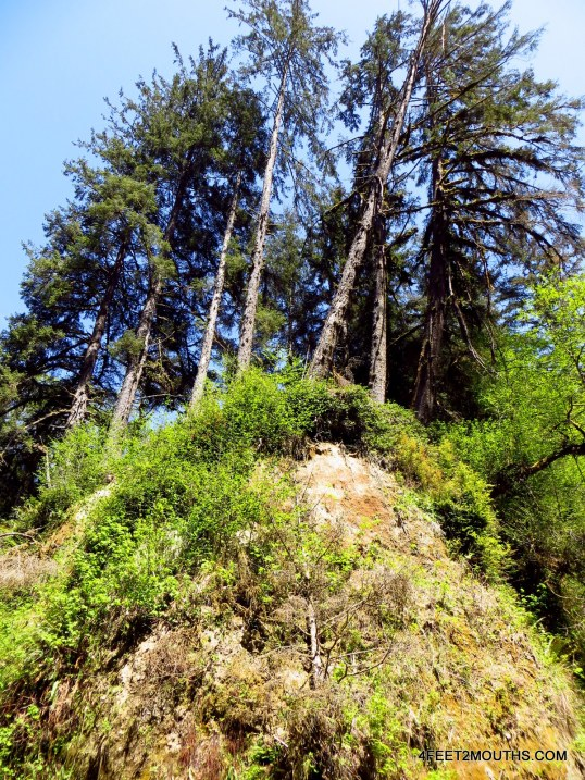 Redwoods holding onto the shear bluff