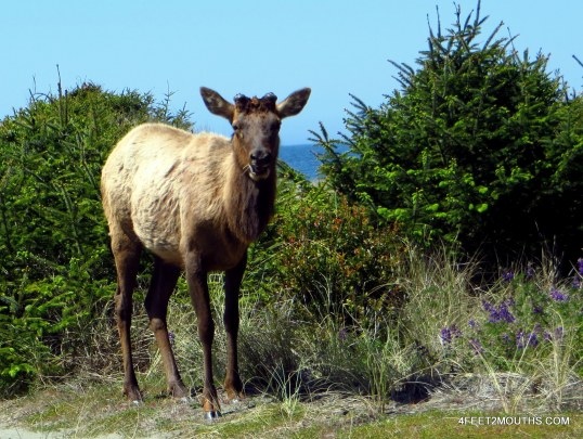 Wild elk near the mouth of Fern Canyon
