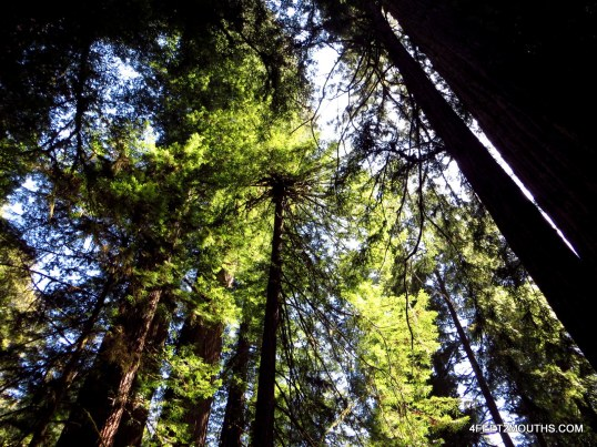 Towers of Redwood National Park