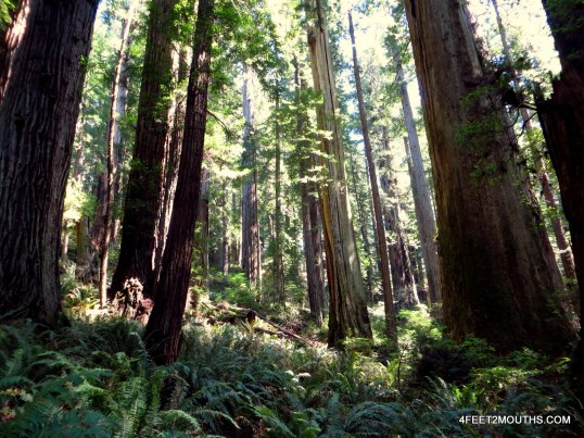 The thick redwood forests around Lady Bird Grove
