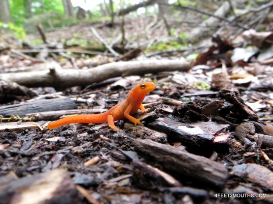Orange salamanders littered the trail